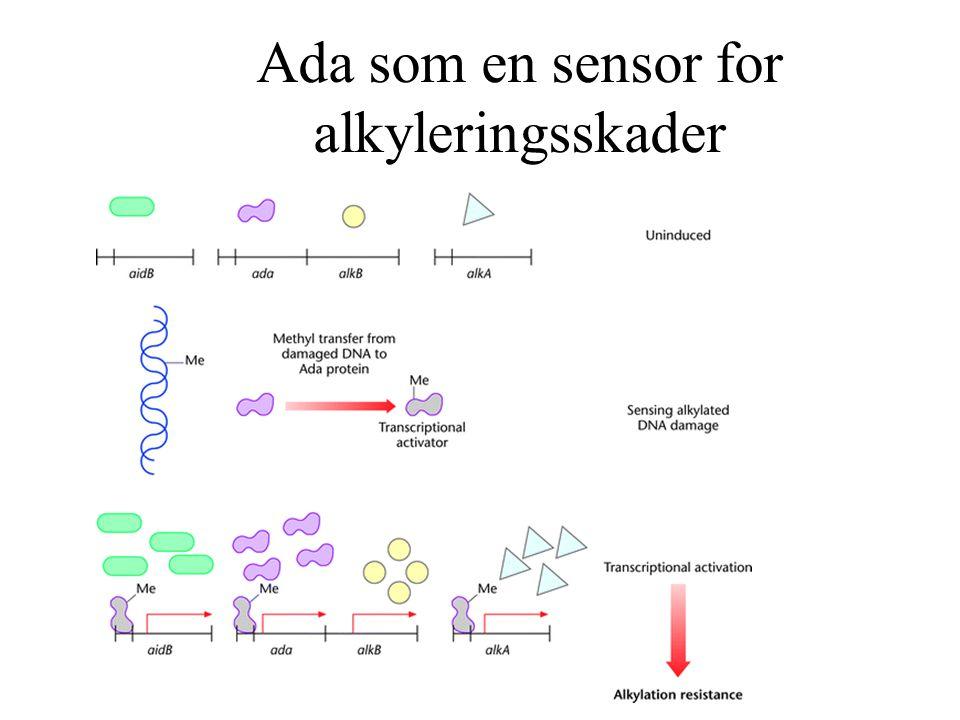 Ada som en sensor for alkyleringsskader