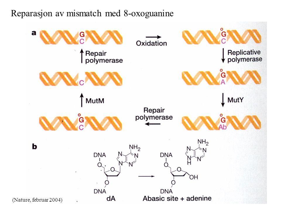 Reparasjon av mismatch med 8-oxoguanine