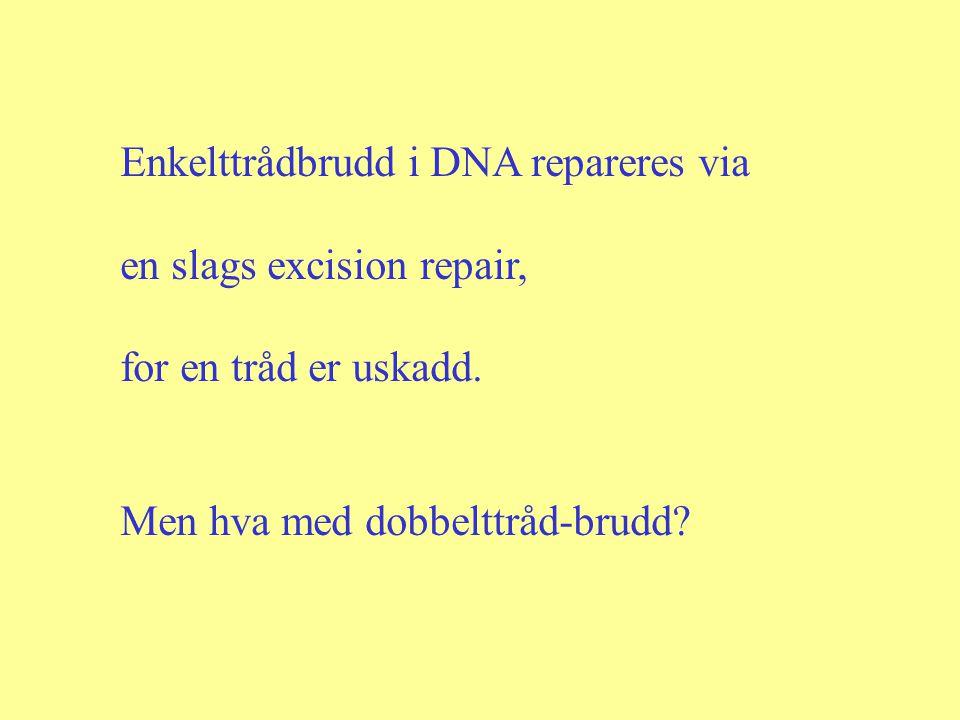 Enkelttrådbrudd i DNA repareres via