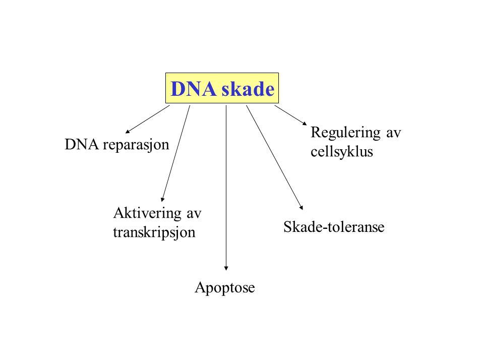 DNA skade Regulering av cellsyklus DNA reparasjon Aktivering av
