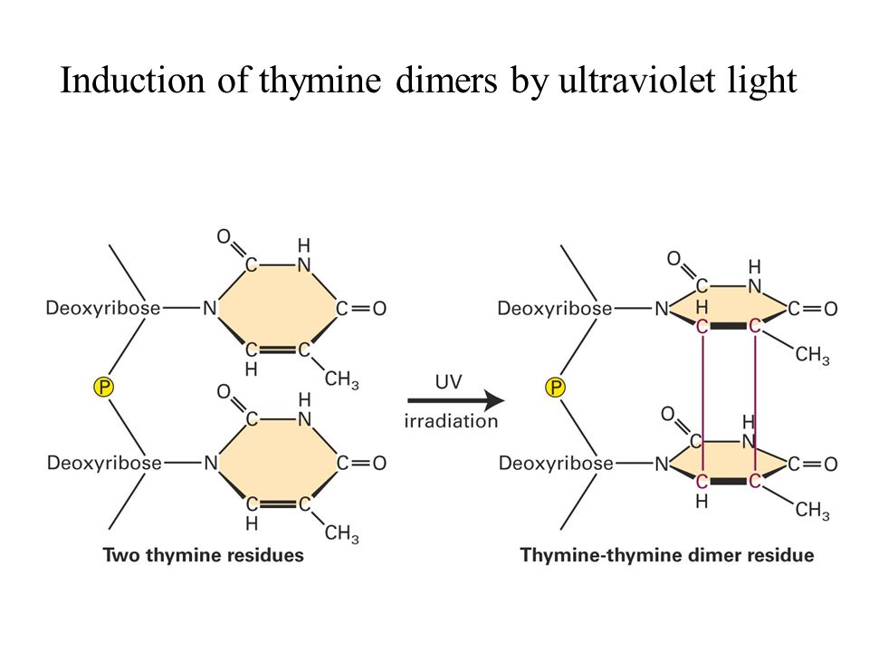 Induction of thymine dimers by ultraviolet light