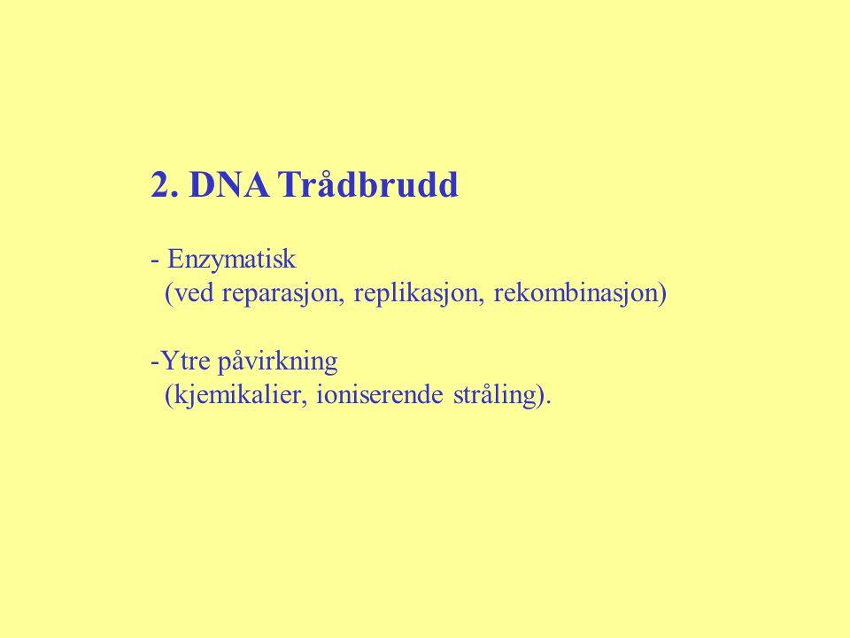 2. DNA Trådbrudd Enzymatisk