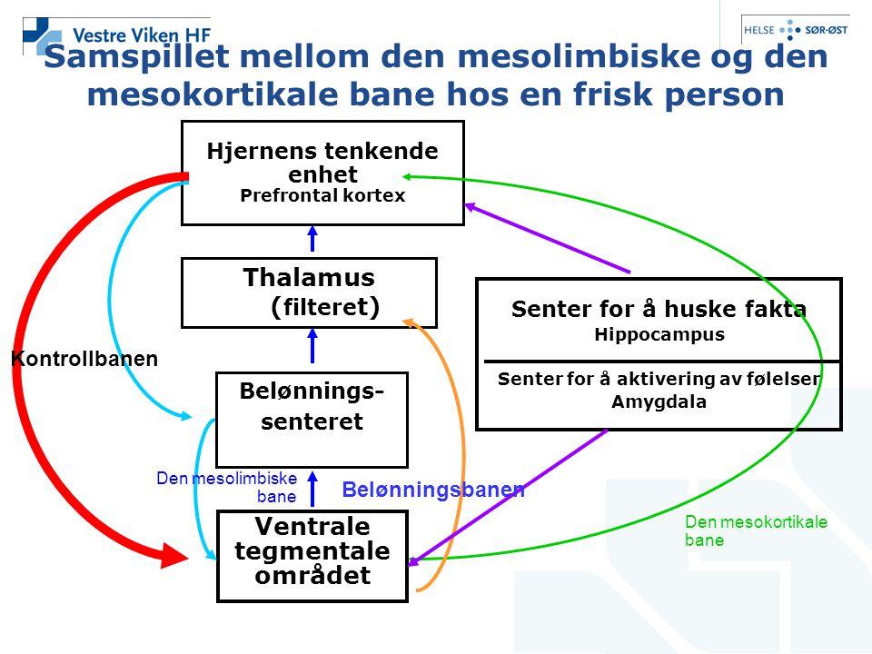 Samspillet mellom den mesolimbiske og den mesokortikale bane hos en frisk person