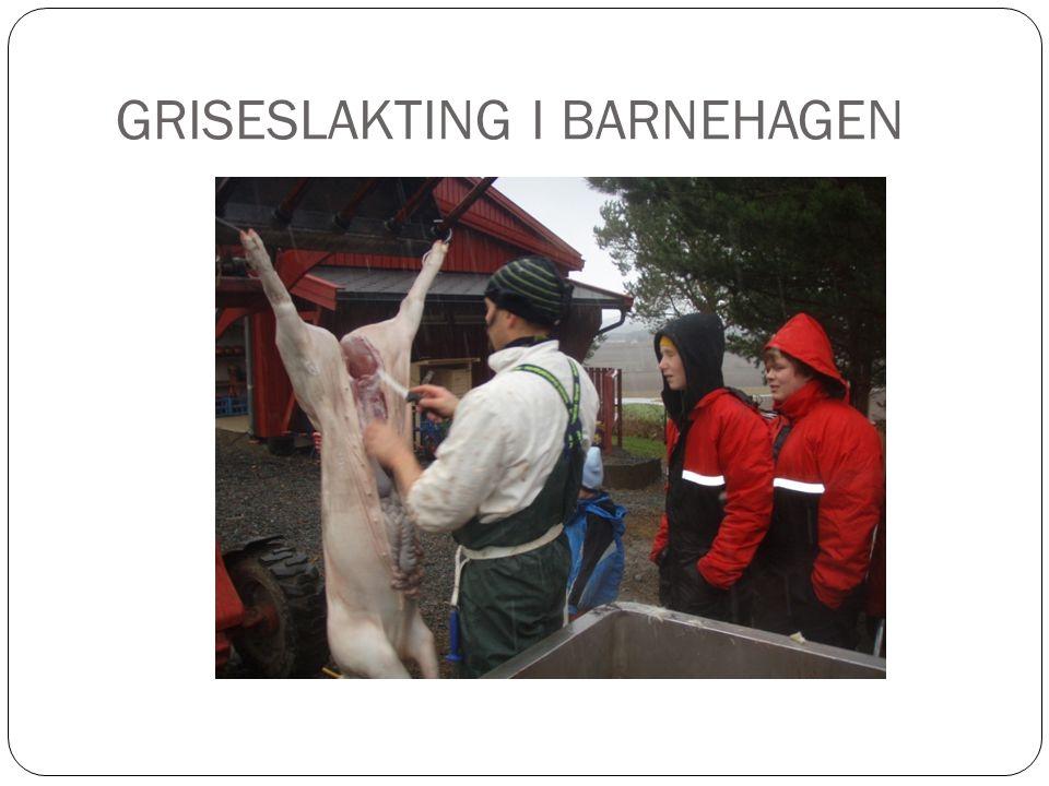 GRISESLAKTING I BARNEHAGEN