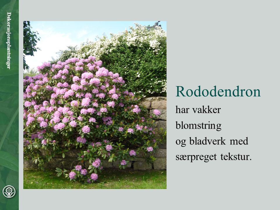 Rododendron har vakker blomstring og bladverk med særpreget tekstur.