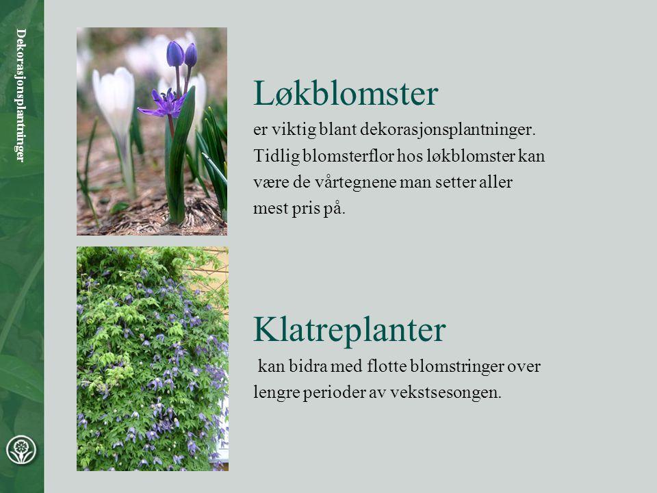 Løkblomster Klatreplanter er viktig blant dekorasjonsplantninger.