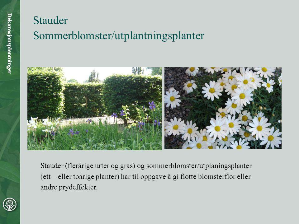 Sommerblomster/utplantningsplanter