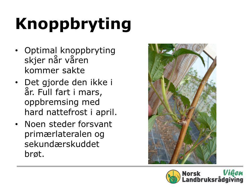 Knoppbryting Optimal knoppbryting skjer når våren kommer sakte