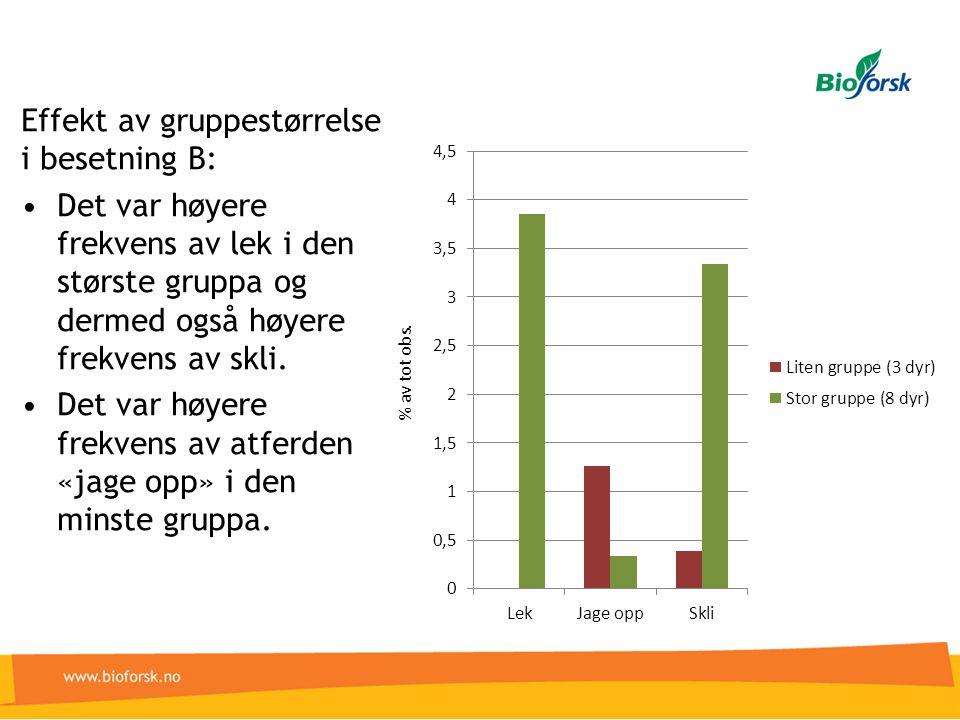 Effekt av gruppestørrelse i besetning B: