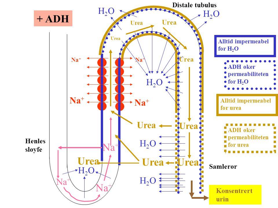 + ADH Urea Urea H2O H2O Urea H2O H2O Na+ Distale tubulus Henles sløyfe