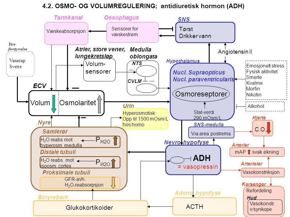 ADH Osmoreseptorer Volum Osmolaritet PH2O