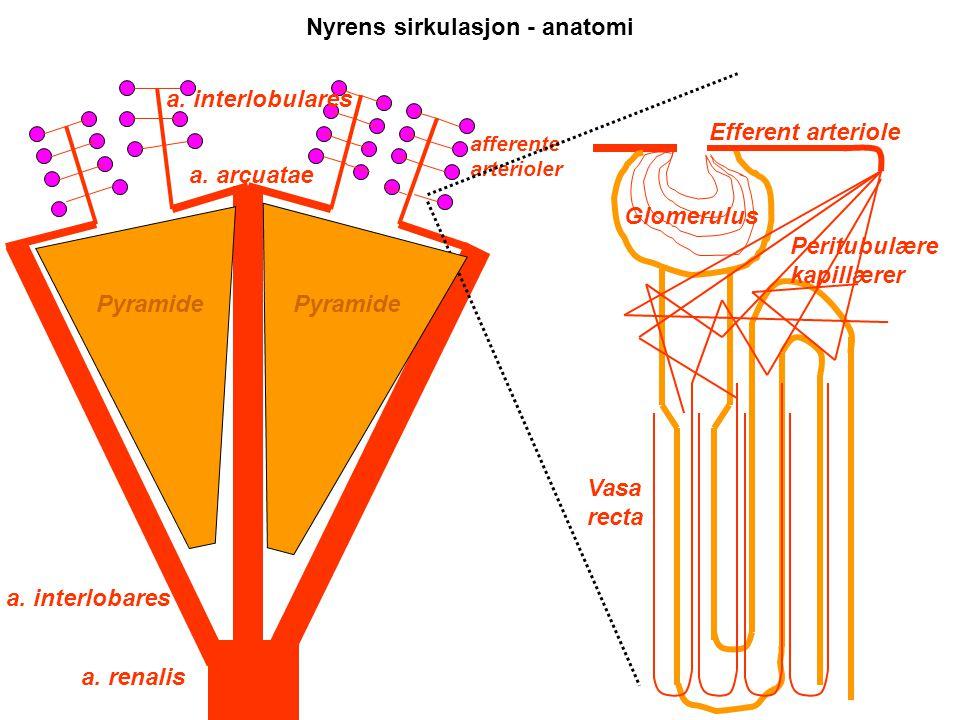 Nyrens sirkulasjon - anatomi