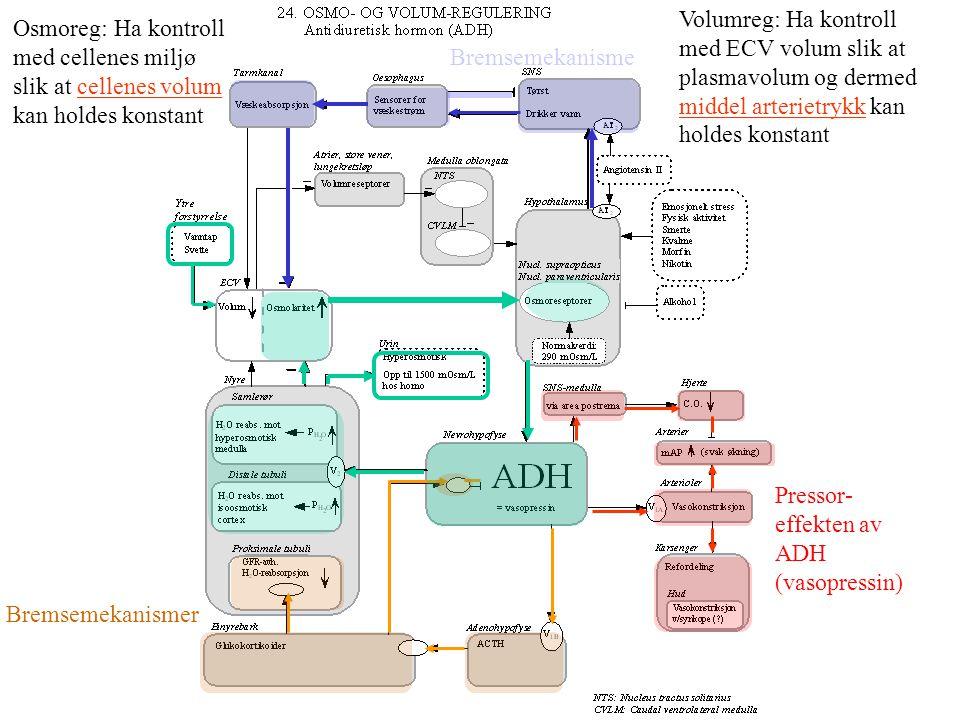 Volumreg: Ha kontroll med ECV volum slik at. plasmavolum og dermed. middel arterietrykk kan. holdes konstant.