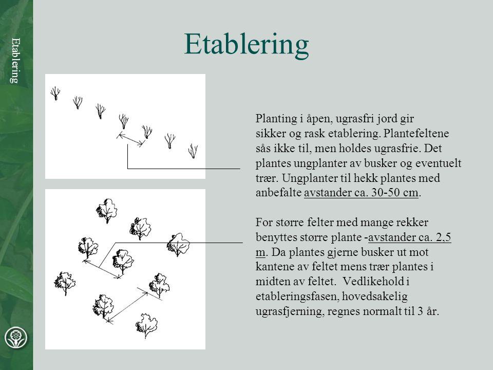Etablering Planting i åpen, ugrasfri jord gir