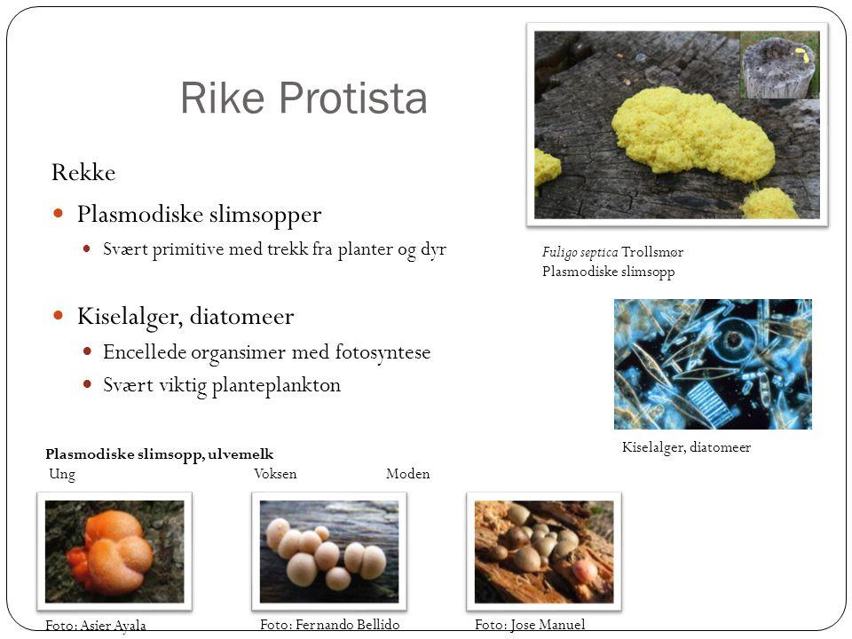 Rike Protista Rekke Plasmodiske slimsopper Kiselalger, diatomeer