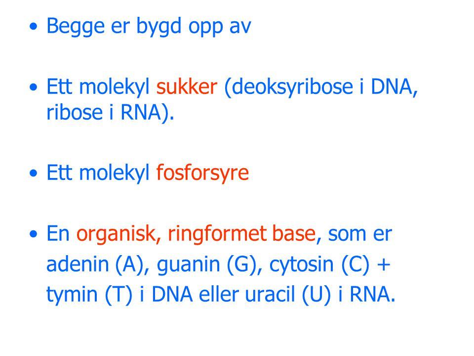 Begge er bygd opp av Ett molekyl sukker (deoksyribose i DNA, ribose i RNA). Ett molekyl fosforsyre.