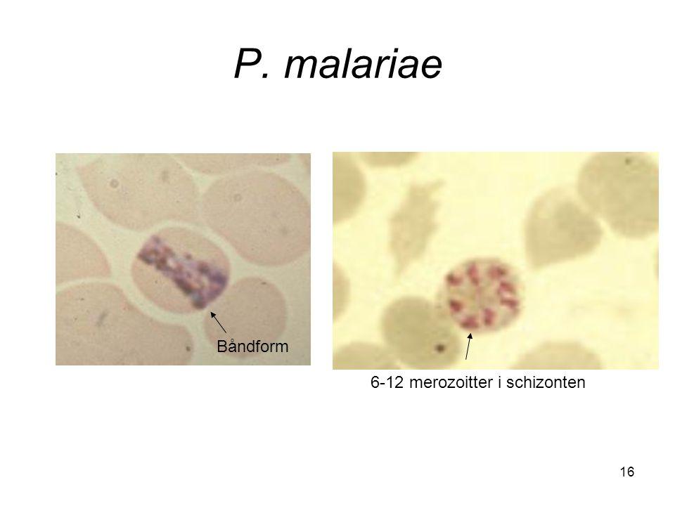 P. malariae Båndform 6-12 merozoitter i schizonten