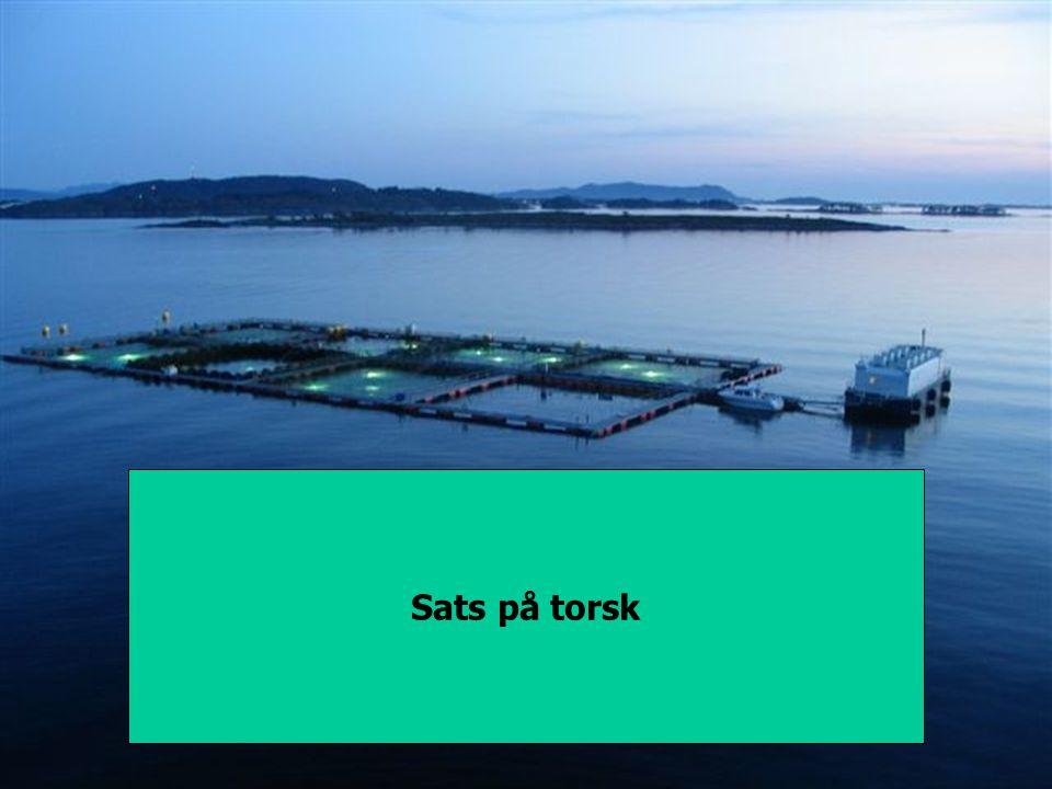 Sats på torsk