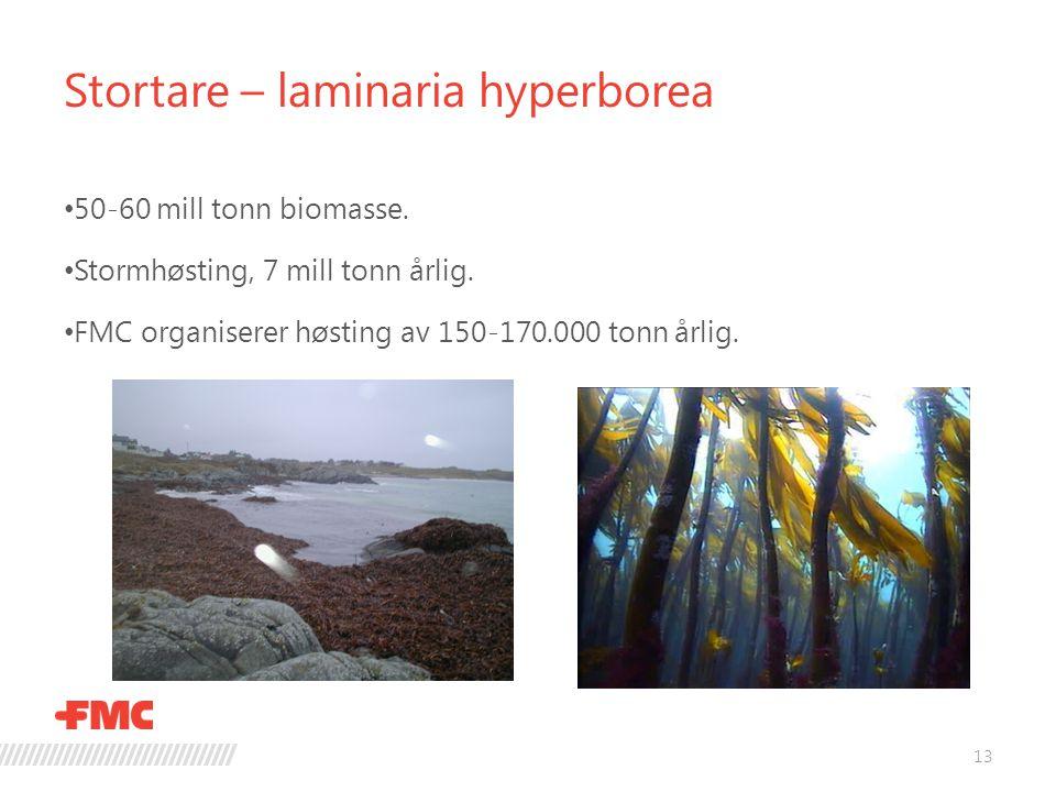 Stortare – laminaria hyperborea