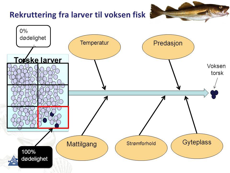 Rekruttering fra larver til voksen fisk