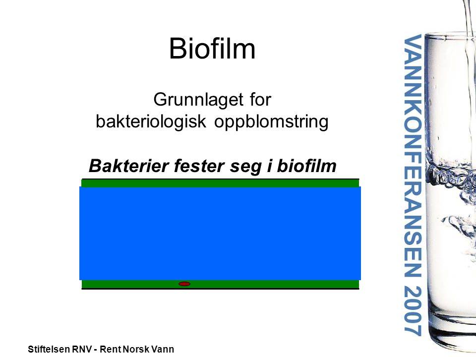 Biofilm Grunnlaget for bakteriologisk oppblomstring Bakterier fester seg i biofilm
