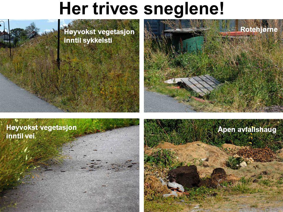 Her trives sneglene! Rotehjørne Høyvokst vegetasjon inntil sykkelsti