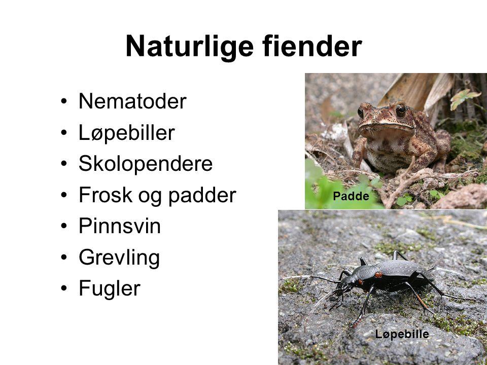Naturlige fiender Nematoder Løpebiller Skolopendere Frosk og padder