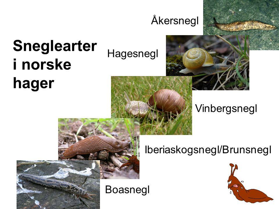 Sneglearter i norske hager