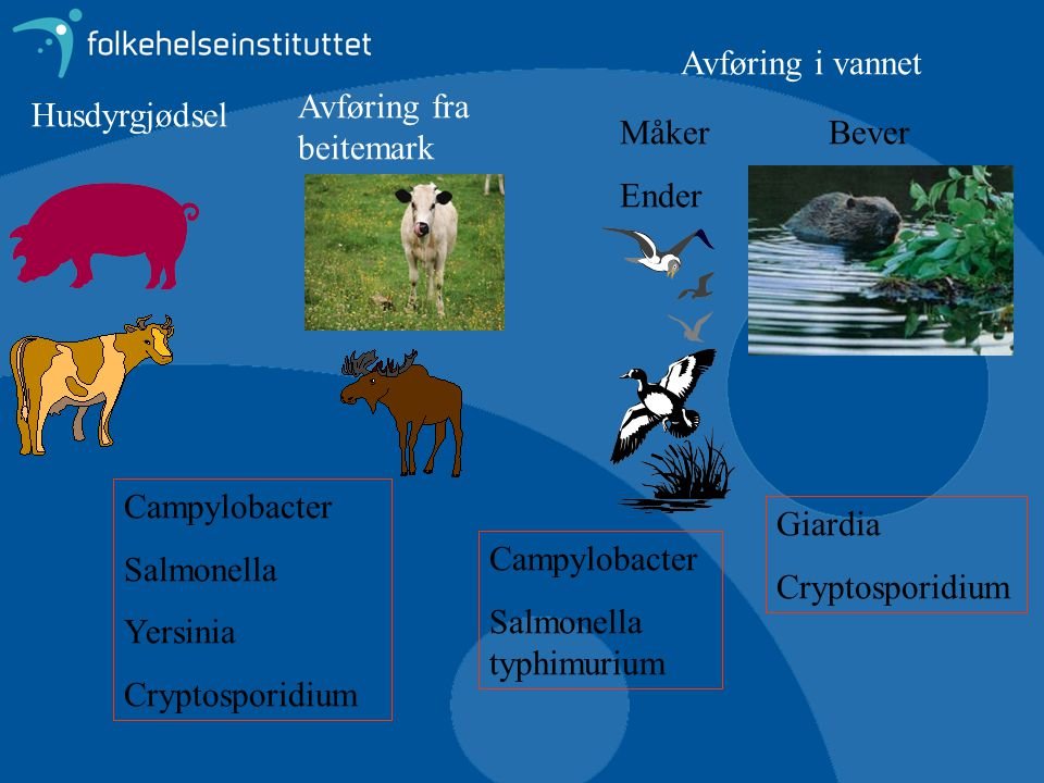 Avføring i vannet Avføring fra beitemark. Husdyrgjødsel. Måker. Ender. Bever. Campylobacter. Salmonella.