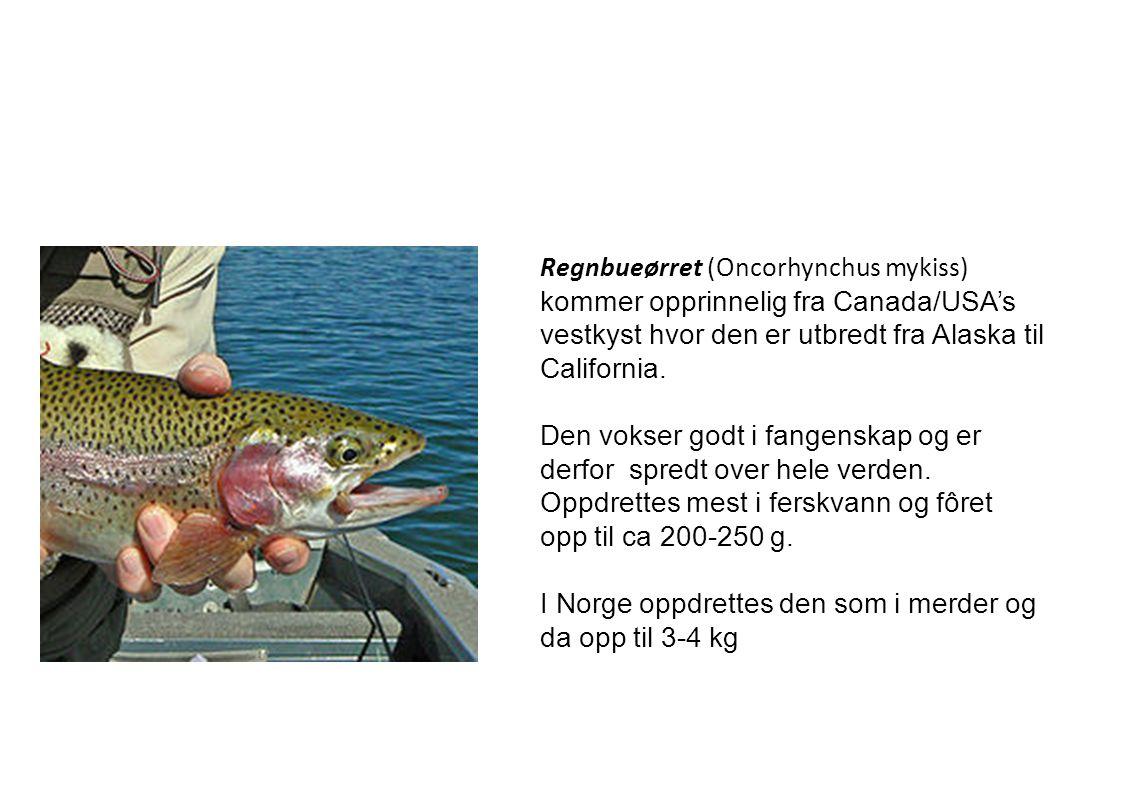 Regnbueørret (Oncorhynchus mykiss) kommer opprinnelig fra Canada/USA's vestkyst hvor den er utbredt fra Alaska til California.