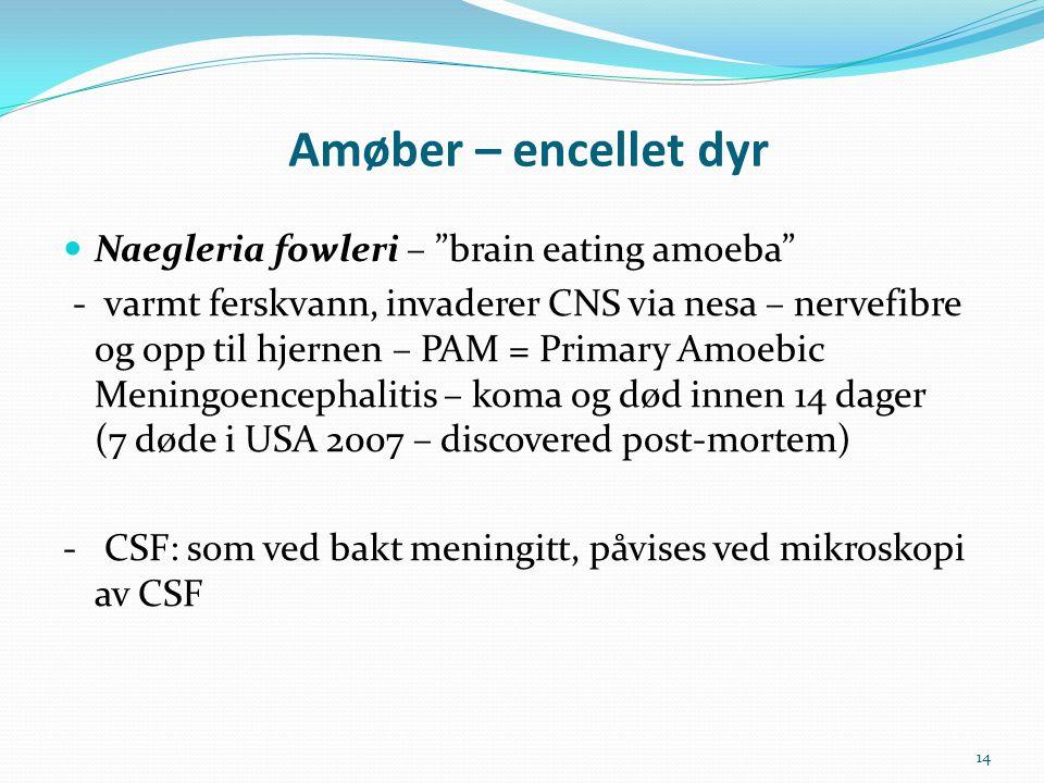 Amøber – encellet dyr Naegleria fowleri – brain eating amoeba