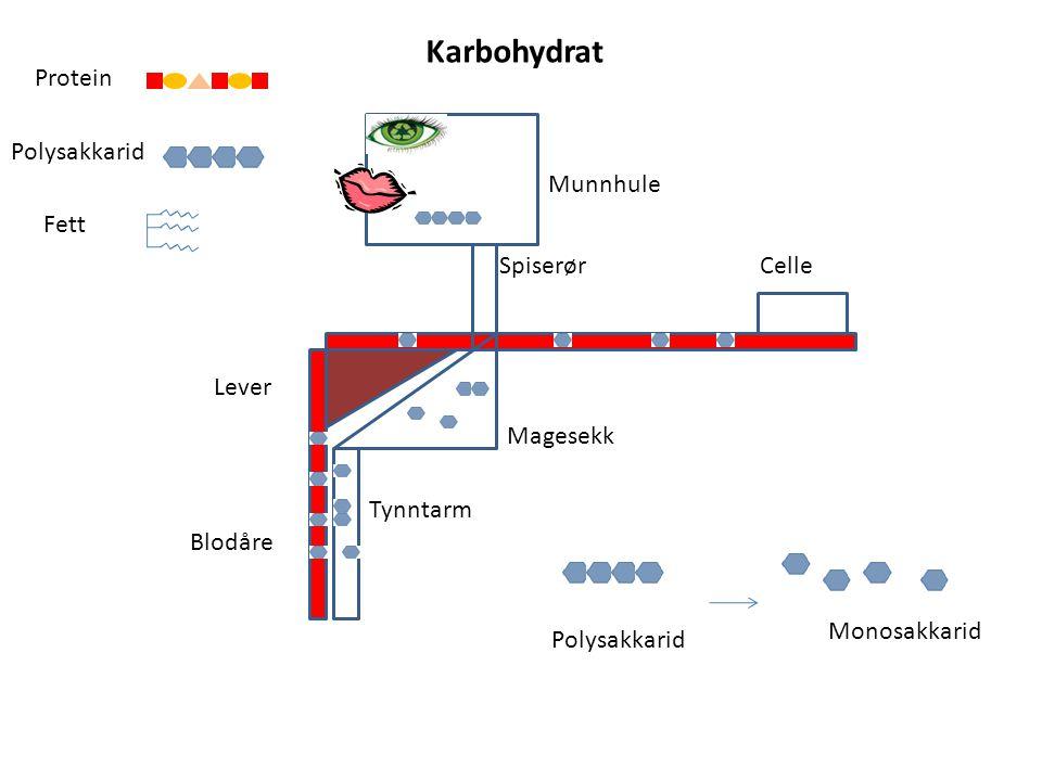 Karbohydrat Protein Polysakkarid Munnhule Fett Spiserør Celle Lever