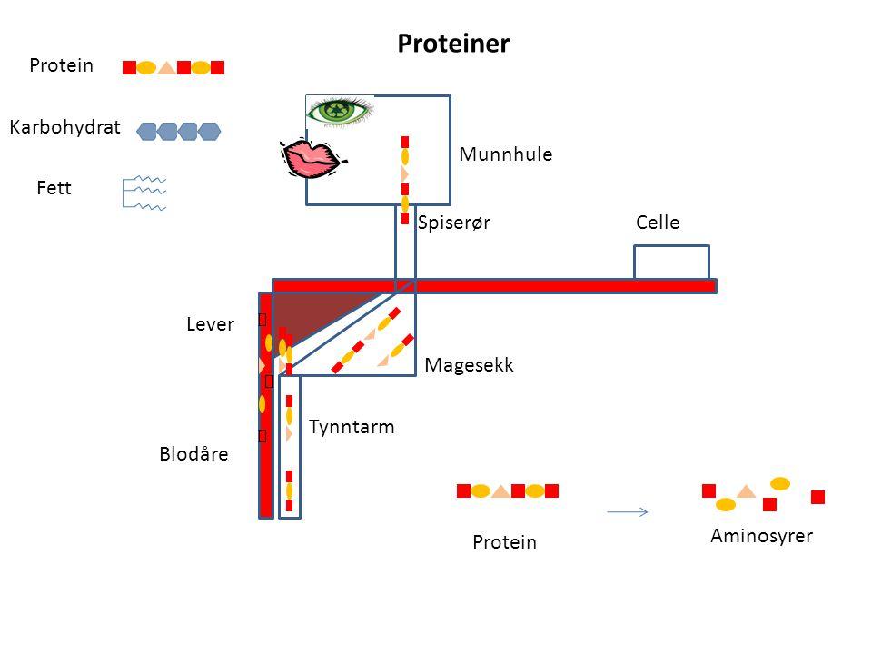 Proteiner Protein Karbohydrat Munnhule Fett Spiserør Celle Lever
