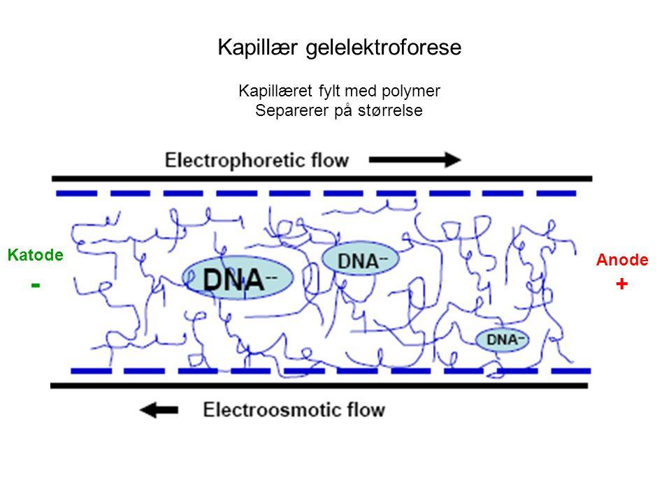 - Kapillær gelelektroforese + Kapillæret fylt med polymer