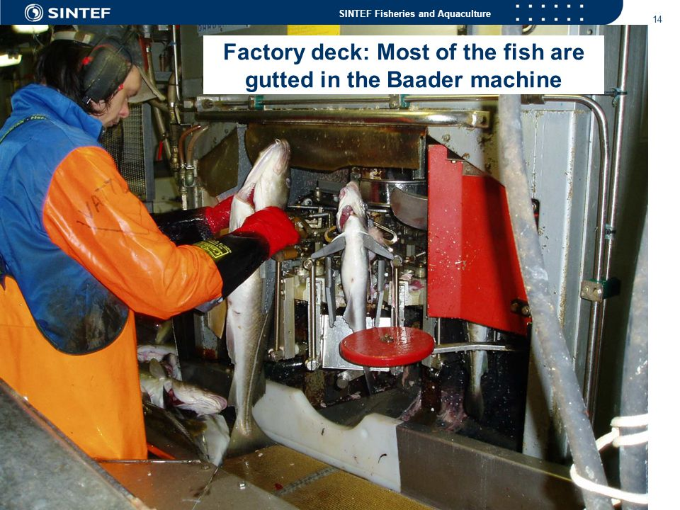 Factory deck: Most of the fish are gutted in the Baader machine