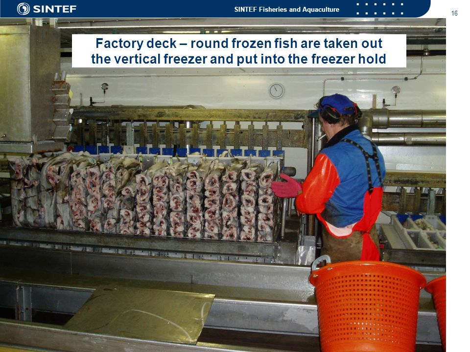 Factory deck – round frozen fish are taken out the vertical freezer and put into the freezer hold