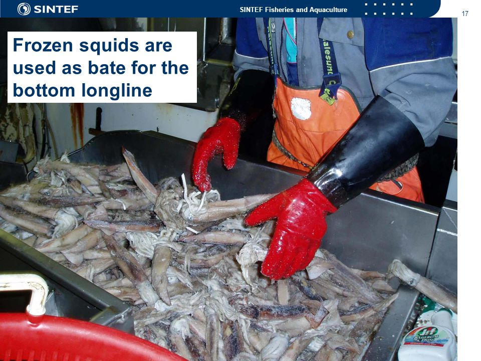Frozen squids are used as bate for the bottom longline