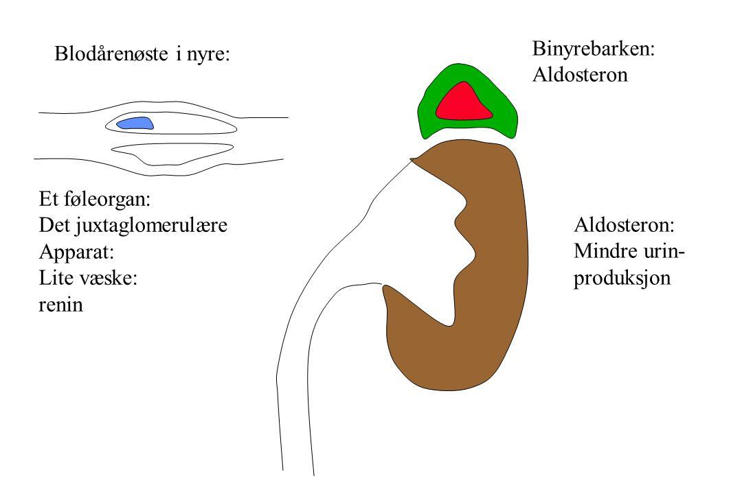 Binyrebarken: Aldosteron. Blodårenøste i nyre: Et føleorgan: Det juxtaglomerulære. Apparat: Lite væske: