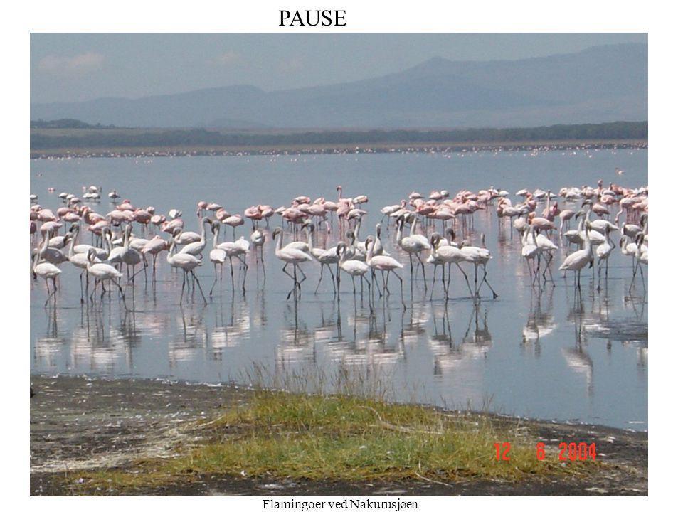 PAUSE Pause Flamingoer ved Nakurusjøen