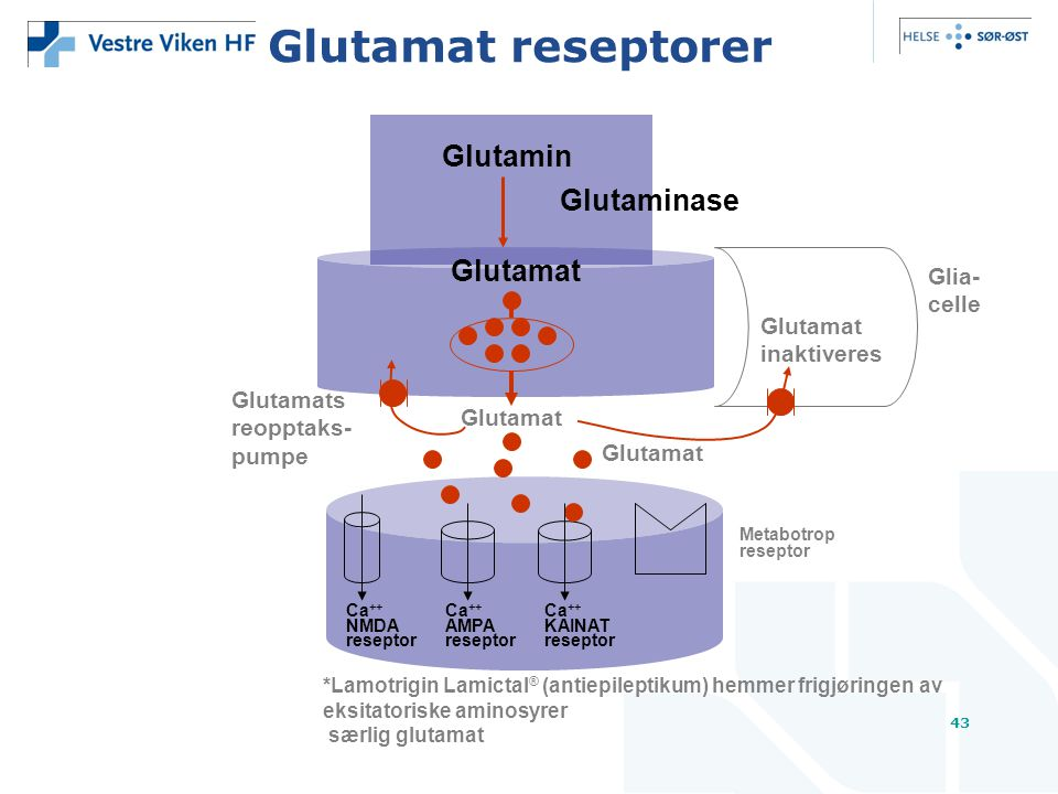 Glutamat reseptorer Glutamin Glutaminase Glutamat Glia- celle Glutamat