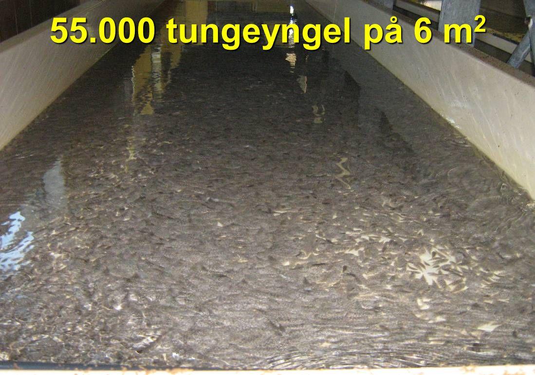 55.000 tungeyngel på 6 m2