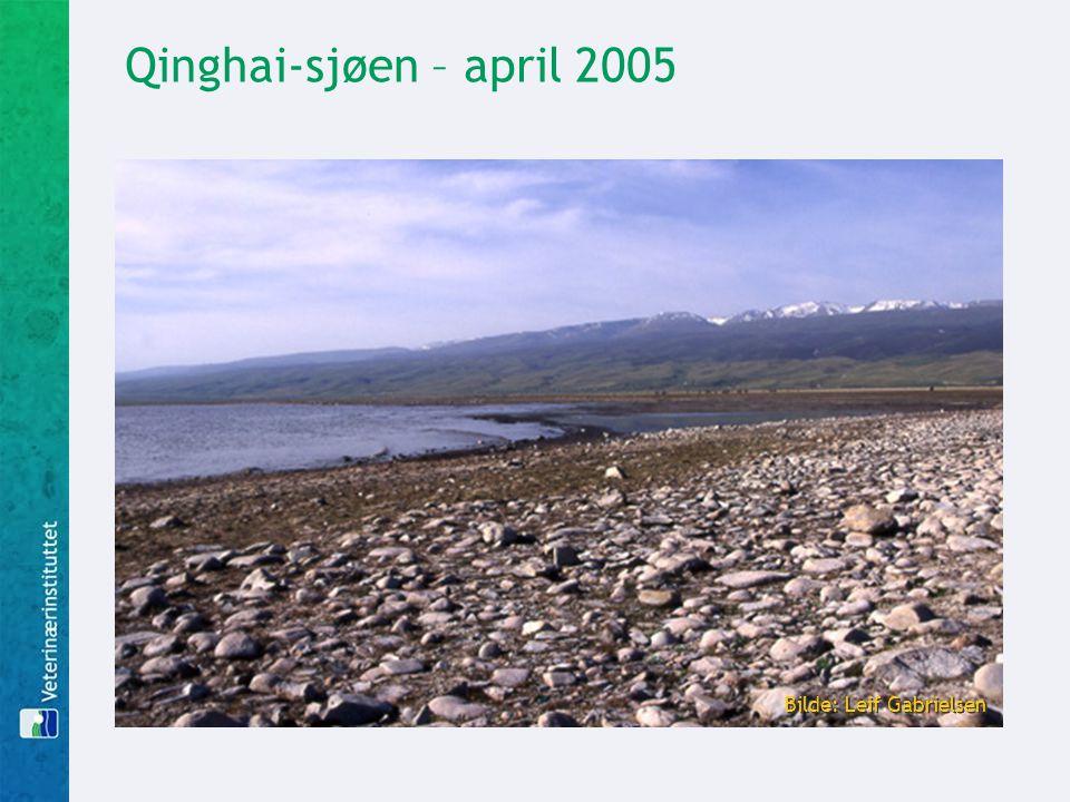 Qinghai-sjøen – april 2005 Bilde: Leif Gabrielsen