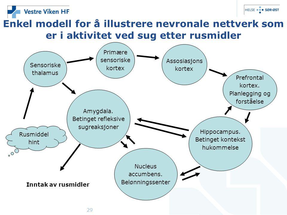 Enkel modell for å illustrere nevronale nettverk som er i aktivitet ved sug etter rusmidler