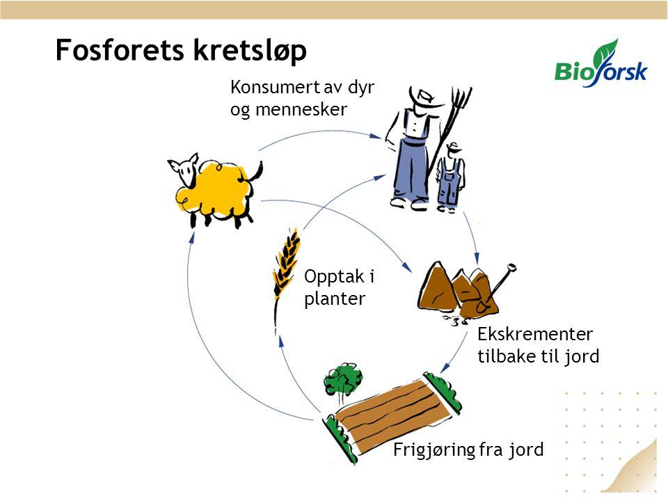 Fosforets kretsløp Konsumert av dyr og mennesker Opptak i planter