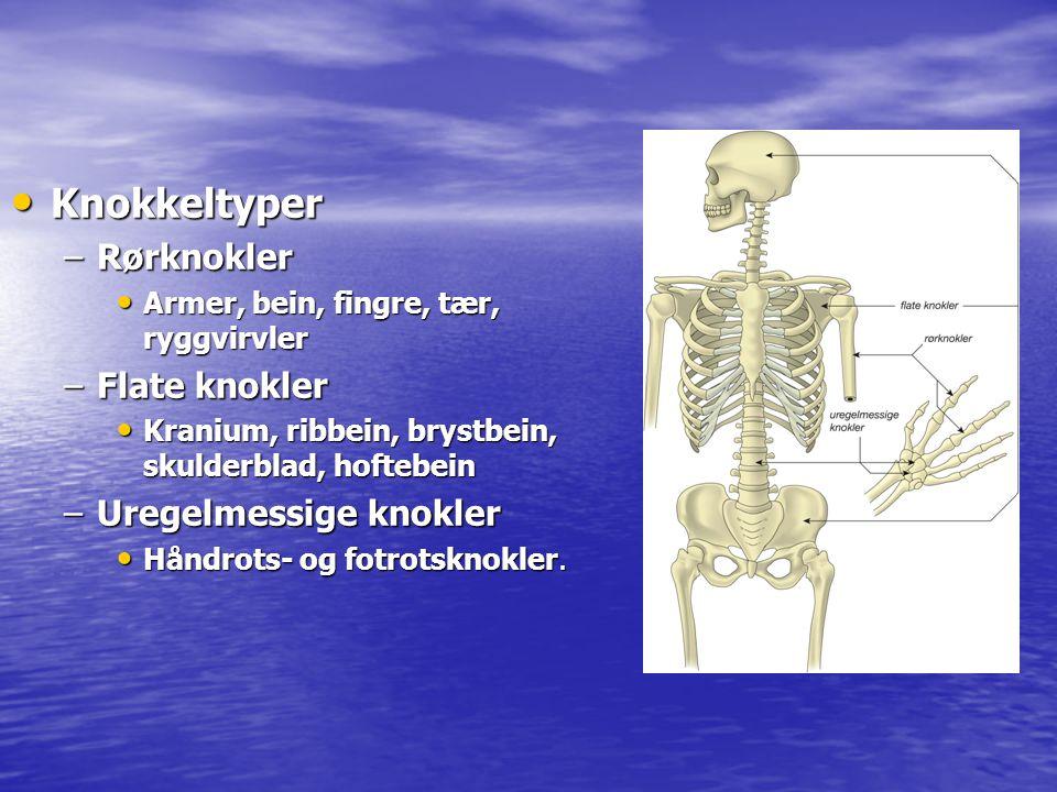 Knokkeltyper Rørknokler Flate knokler Uregelmessige knokler