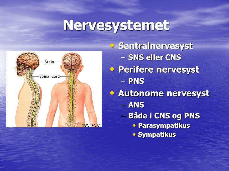 Nervesystemet Sentralnervesyst Perifere nervesyst Autonome nervesyst