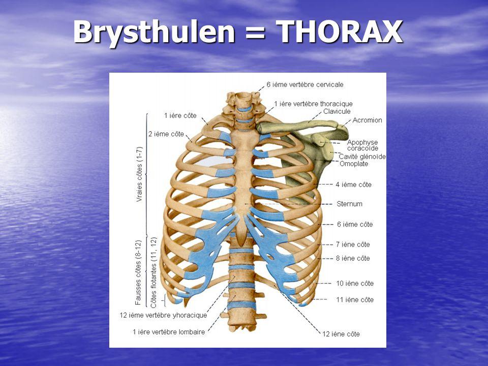 Brysthulen = THORAX