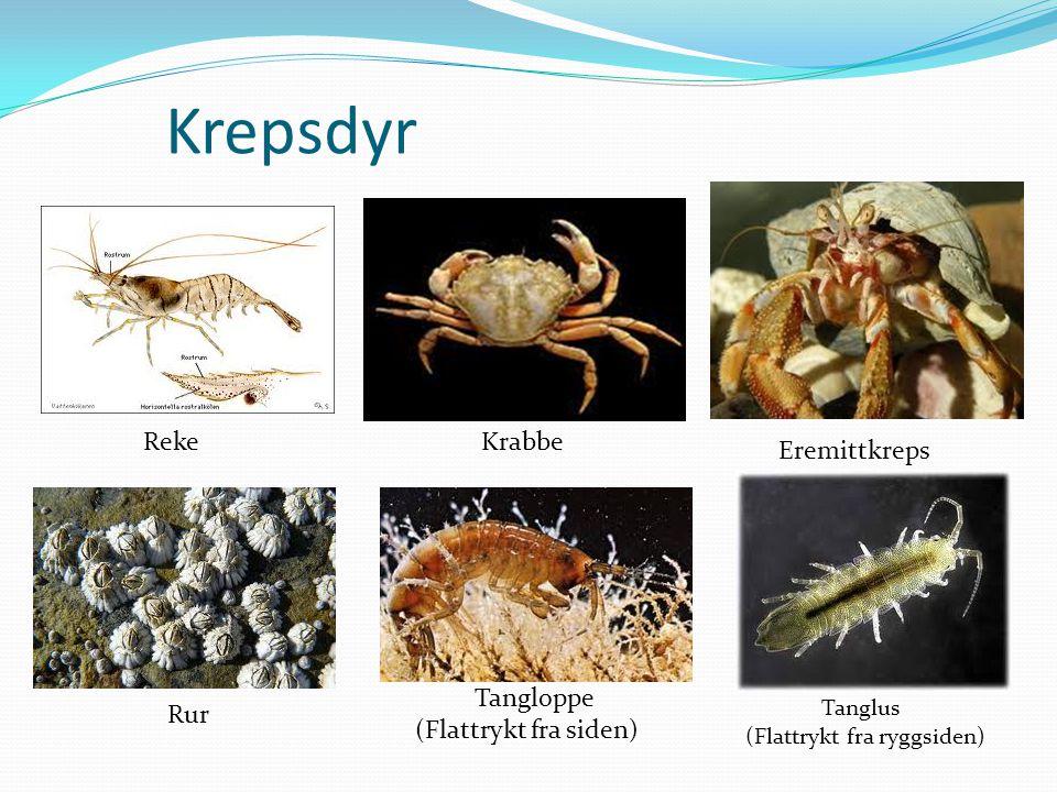 Krepsdyr Reke Krabbe Eremittkreps Tangloppe (Flattrykt fra siden) Rur