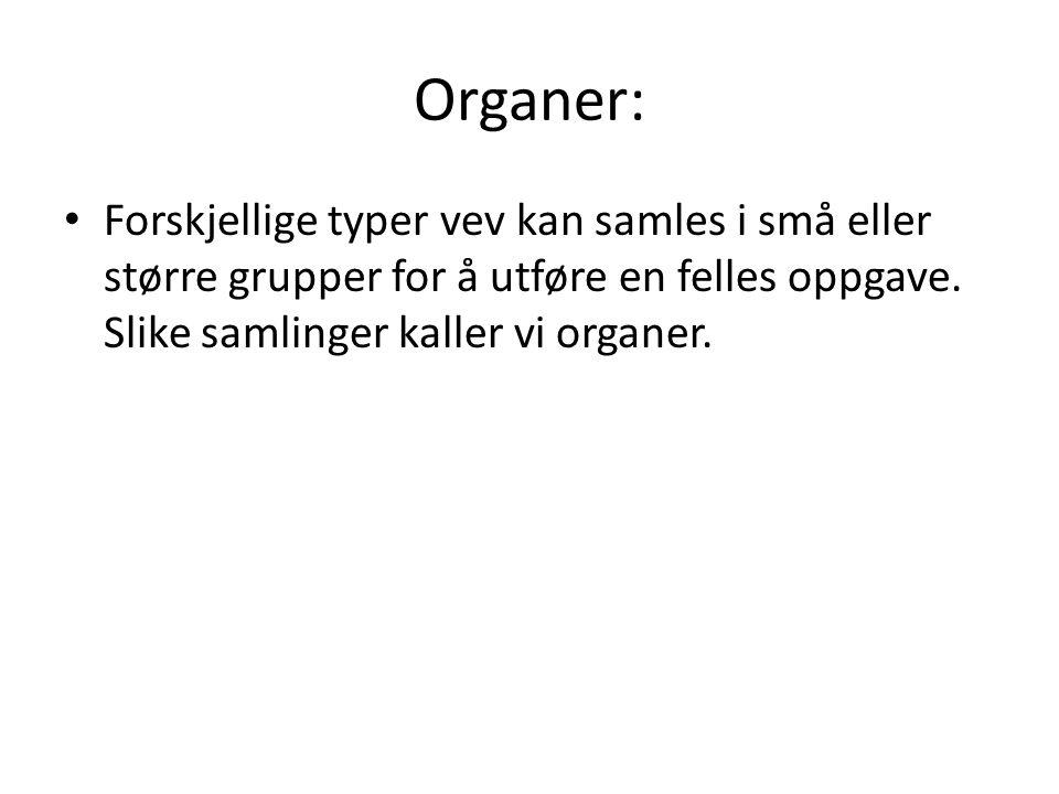 Organer: Forskjellige typer vev kan samles i små eller større grupper for å utføre en felles oppgave.