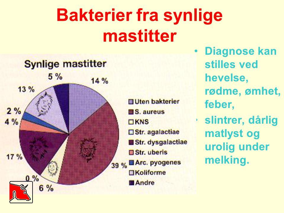 Bakterier fra synlige mastitter